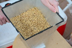Home brew grain mill. Malted barley grains being milled by hand for home brew Stock Photo