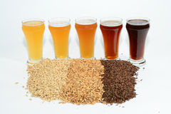 Home brew ingredients of grains and hops. Home brewed beer showing the different color of beer that different grains produce from pale 2 row grain to cara pils Royalty Free Stock Photo