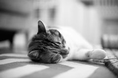 Home carpet with cat lying on it. Beautiful pet cat lying on the carpet - home sweet home for this feline is all around the house, black and white image Royalty Free Stock Photo