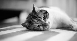 Home carpet with cat lying on it. Beautiful pet cat lying on the carpet - home sweet home for this feline is all around the house, black and white image Stock Photos