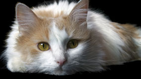 Home cat. White on black background Royalty Free Stock Photography