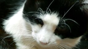Home cat black and white. Close-up. Looks around and turns his head. stock video footage