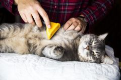 Home cat enjoys combing out Stock Image