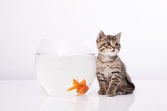 Home cat and a gold fish Stock Images