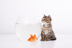 Home cat and a gold fish. Cat is lokking at a fish in a bowl Stock Photos
