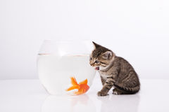 Home cat and a gold fish. Cat is lokking at a fish in a bowl Royalty Free Stock Image