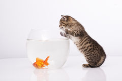 Home cat and a gold fish. Cat is lokking at a fish in a bowl Stock Photography