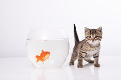 Home cat and a gold fish. Cat is lokking at a fish in a bowl Royalty Free Stock Photo