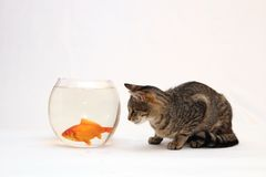 Home cat and a gold fish. Home cat and a gold fish whit isolated photo Royalty Free Stock Photo