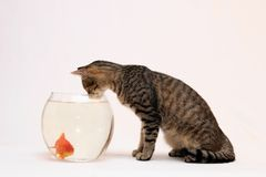 Home cat and a gold fish. Home cat and a gold fish whit isolated photo Royalty Free Stock Image
