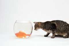 Home cat and a gold fish. High resolution image of goldfish kissing and hom cat Royalty Free Stock Photography