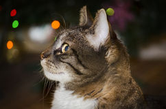 Home Cat Portrait Royalty Free Stock Images
