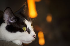 Home Cat Portrait Stock Image