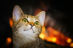 Home Cat Portrait Royalty Free Stock Photo