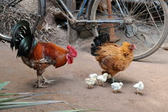 Home chickens in the village courtyard. Royalty Free Stock Photo