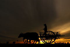 Home Coming - Workhorse -Bull Cart - Transportation. After a hard day in the field, is time to pack the tools and returning back to the warm home Royalty Free Stock Photography