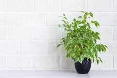 Home decor - indoor green plant in flower pot on white brick wall background. royalty free stock photo