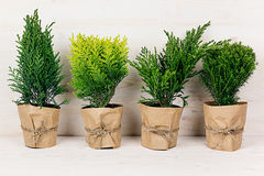 Home decoration of different young green conifer plants in pots with copy space on beige wood table. Royalty Free Stock Photography