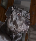 Home defense. Black Great Dane that is guarding the inside of a house royalty free stock photos