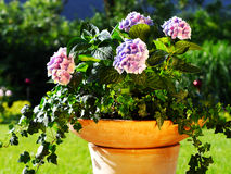 Home design ideas. Container gardening ideas with ivy and hydrangea in terracota pot Royalty Free Stock Photos