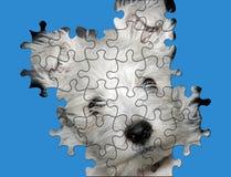 HOME do cão confundida Fotografia de Stock Royalty Free