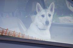 Home dog in the car. Four-footed friend. Loyalty Stock Images