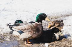 Home drake and ducks on spring ice royalty free stock image