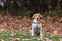 Home beagle male for a walk royalty free stock photos