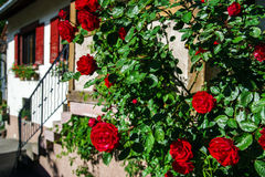Home entrance decorated by natural roses Royalty Free Stock Image