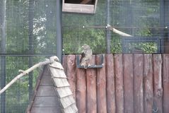 Home Falcon sitting in the pen. Home Falcon sitting on wooden buildings Royalty Free Stock Photos