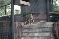 Home Falcon sitting in the pen. Home Falcon sitting on wooden buildings Stock Image