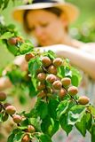 Home farmer is checking maturing apricots on tree branch stock photo