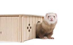 Home ferret emerges from his house Royalty Free Stock Photo