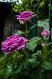 Pink rose. Home flower in the garden. Home flowers Royalty Free Stock Images