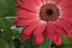 Home flower gerbera. Part of a red flower on a green background royalty free stock photo