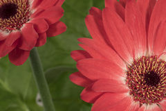 Home flower gerbera. Part of a red flower on a green background stock photo