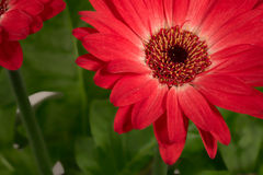 Home flower gerbera. Part of a red flower on a green background stock images