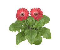 Home flower gerbera. On a white background royalty free stock photo