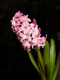 Home flower series, pink hyacinth Royalty Free Stock Photo