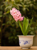 Home flower series,  pink hyacinth Stock Images