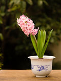 Home flower series,  pink hyacinth Stock Photography