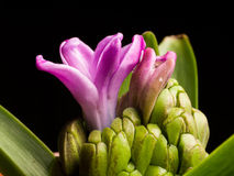 Home flower series, purple hyacinth Stock Photography