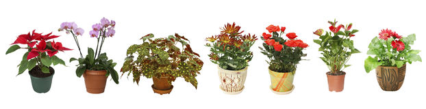 Home flowers in pots on white background Royalty Free Stock Photography