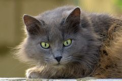 Home fluffy cat with light eyes. The house fluffy cat of an ashy color with light eyes, lies on bricks royalty free stock images