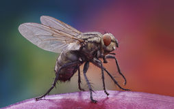 Home fly on the apple. Extra-sharp shot of the home fly on the apple Stock Photography