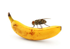 Home fly sitting on banana Royalty Free Stock Photo
