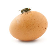Home fly sitting on egg Royalty Free Stock Photo
