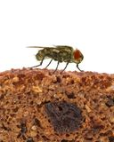 Home fly sitting on slice of bread Stock Image