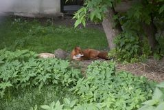 Home Fox lies in the grass. Red Fox sleeping under a tree in the grass Stock Photo