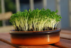 Watercress sprout. Home miniature garden closeup. Watercress sprouts mini garden. Microscopic jungle closeup stock photos